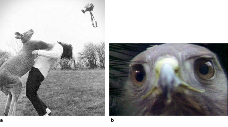 a) Nature Fights Back; b) Red Tailed Hawk.  Given large format cameras and long telephoto lenses, wildlife DOPs face a range of perils, including the daunting challenge of finding and keeping critical focus in very tight close ups. While today's auto-focus cameras take ample advantage of machine-learning, cameras fitted with such systems effectively stop learning once the camera and firmware leave the factory. As true artificial intelligence develops, our cameras may continue to learn from in-field use. But then we will need to be careful. A camera's AI system that is constantly learning may also learn our bad habits, so DOPs hoping to exploit artificial intelligence might actually become worse at the craft, and not better!