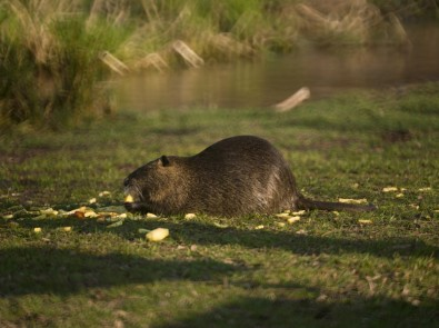Figure 3. DOF isolation with poor boke. The critter (a coypu) looks good enough, but the background is confused rather than out of focus. This is a characteristic of mirror lenses.