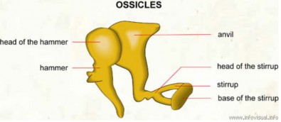 Figure 1. The ossicles are three bones in either middle ear that are among the smallest bones in the human body. They serve to transmit sounds from the air to the fluid-filled labyrinth.