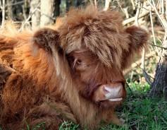 English cow.